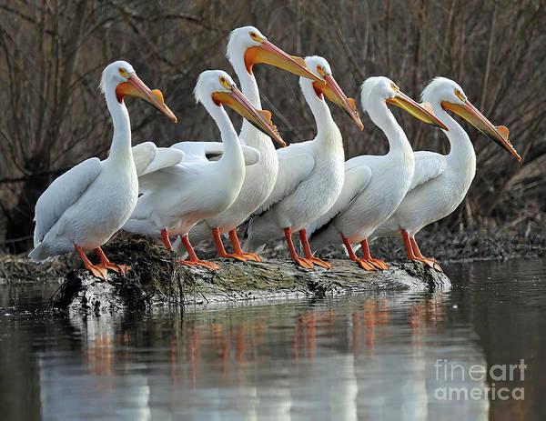 Wall Art - Photograph - Pelican Six Pack by Steve Gass
