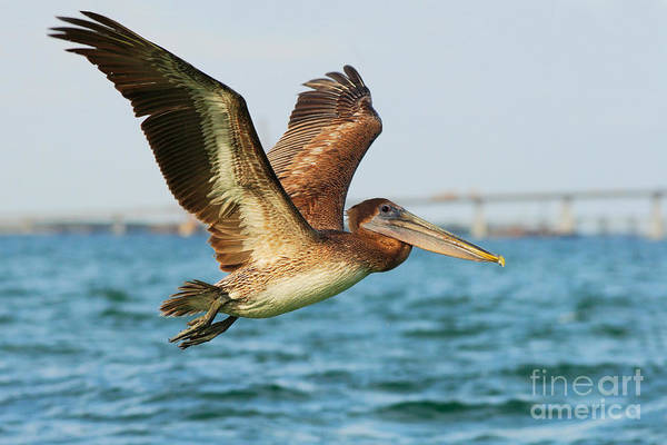 Wall Art - Photograph - Pelican Starting In The Blue Water by Ondrej Prosicky