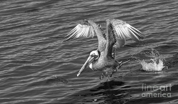 Wall Art - Photograph - Pelican Take Off - Black And White by Stefano Senise