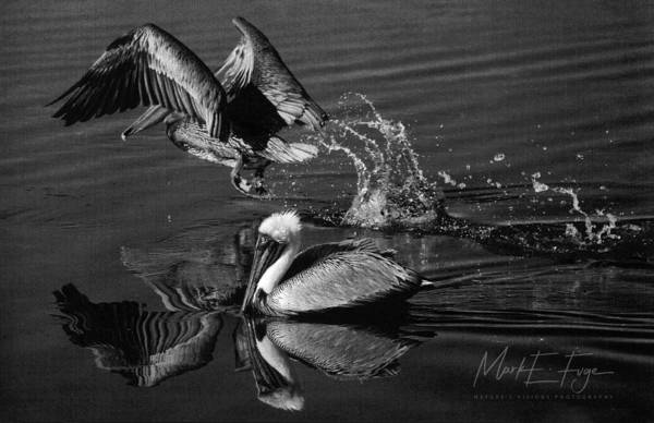 Pelican Island National Wildlife Refuge Wall Art - Photograph - Pelican Takes Flight by Mark Fuge