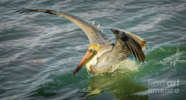 Wall Art - Photograph - Pelican Wings by Stefano Senise