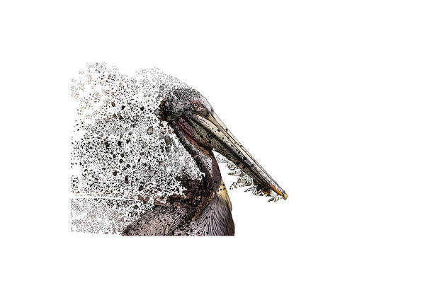 Photograph - Pelican With Transparent Background by Bill Posner