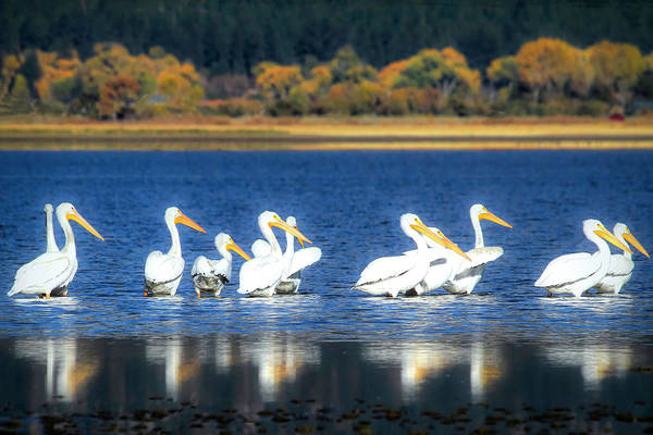 Wall Art - Photograph - Pelicans At Eastlake by Donna Kennedy