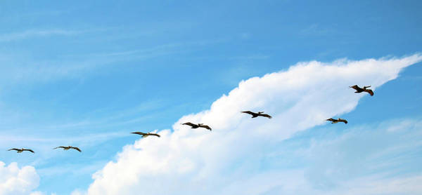 Photograph - Pelicans Gliding At The Coast by Cynthia Guinn