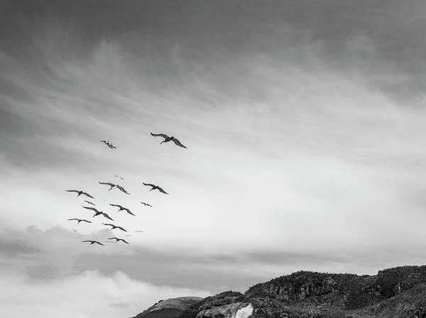 Photograph - Pelicans In Flight II Bw by David Gordon