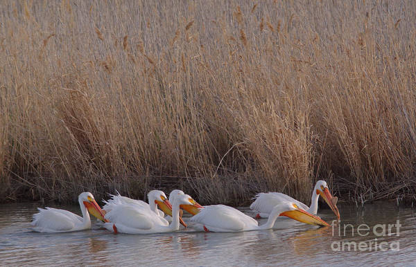 Wall Art - Photograph - Pelicans by Jeff Swan