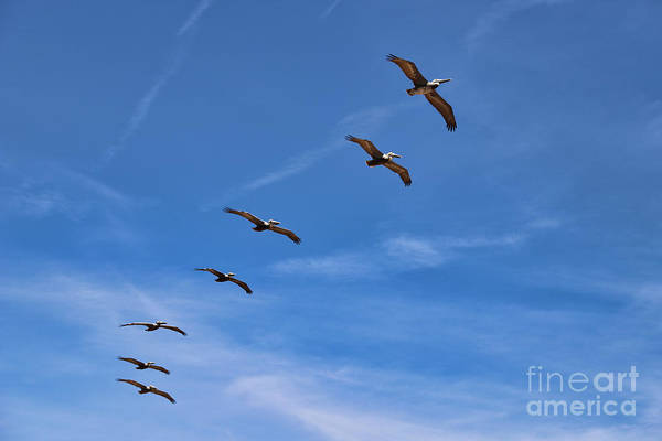 Wall Art - Photograph - Pelicans by Kelly Pennington