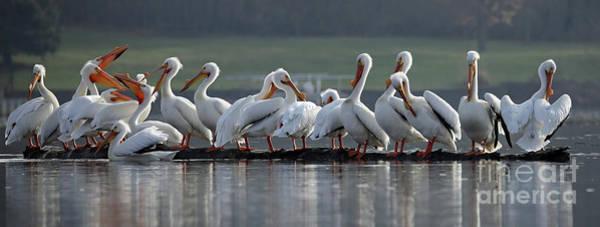 Wall Art - Photograph - Pelicans Logging On by Steve Gass