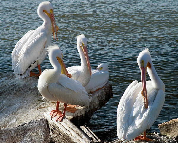 Birds Of Texas Photograph - Pelicans On The Rocks by Dhuss