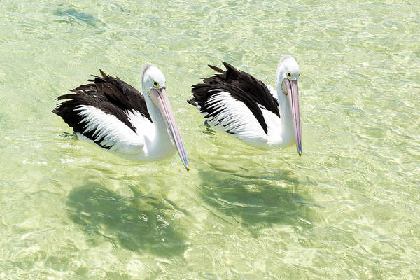 Photograph - Pelicans by Rob D Imagery
