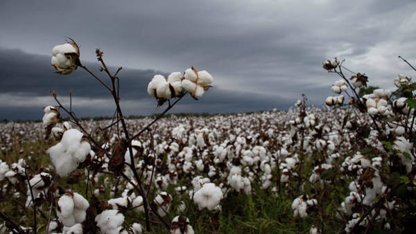 Wall Art - Photograph - Pending Storm Over The Cotton Field by Amy Curtis