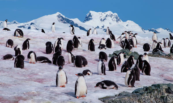 Sascha Wall Art - Photograph - Penguin Colony - Antarctica by Sascha Grabow