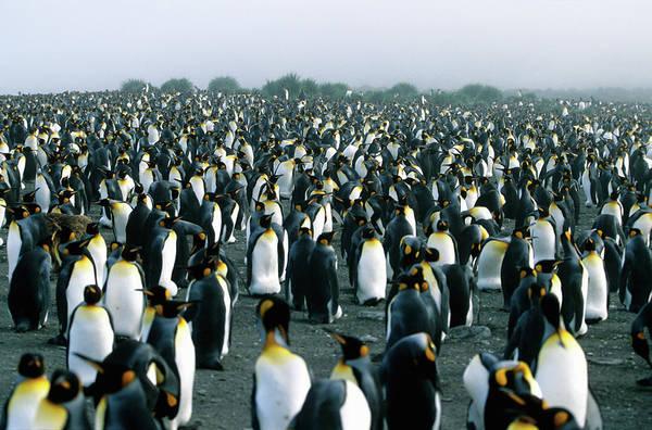 Wall Art - Photograph - Penguin Colony by Wdj