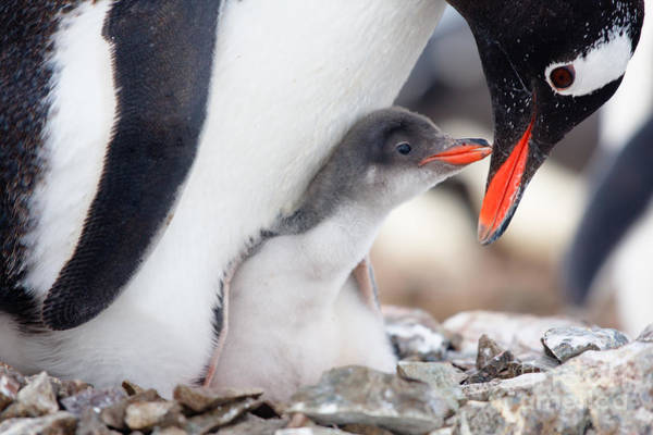 Antarctic Wall Art - Photograph - Penguin In Its Nest To Protect Her Cub by Volodymyr Goinyk