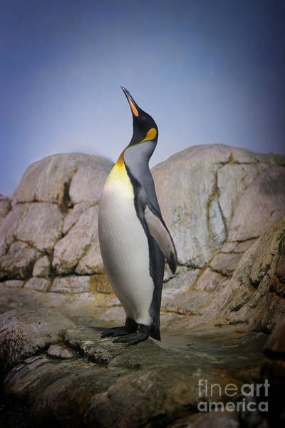 Wall Art - Photograph - Penguin With Beak Towards The Sky And by Kimberly Hall