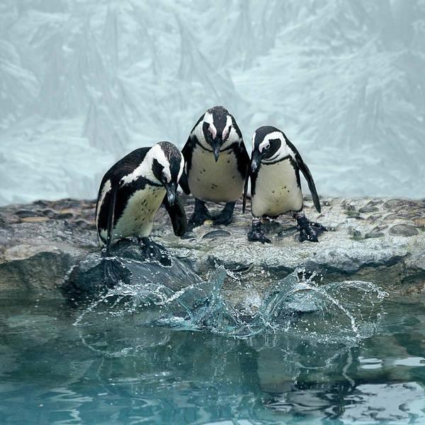 Wall Art - Photograph - Penguins by Fotografias De Rodolfo Velasco