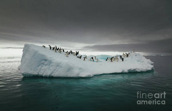 Wall Art - Photograph - Penguins On An Iceberg In The Sea by David Merron