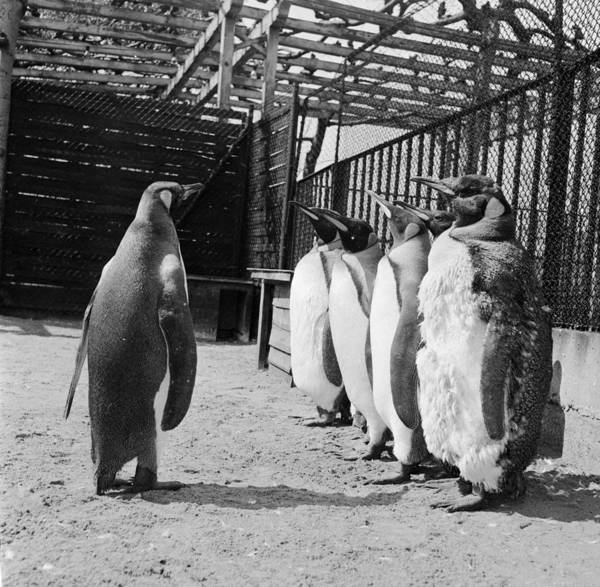Wall Art - Photograph - Penguins On Parade by Dennis Rowe
