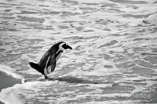 Plunge Photograph - Penguin On A Beach - Bath Time by Delphimages Photo Creations