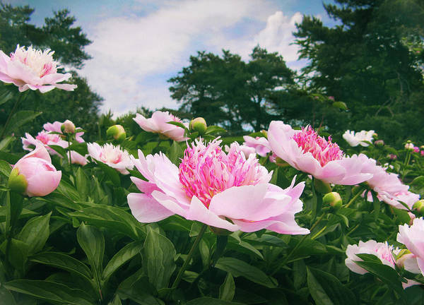 Photograph - Peonies In Bloom by Jessica Jenney