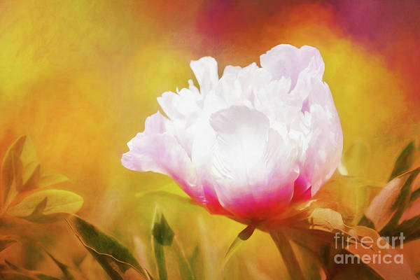 Photograph - Peony Delight by Anita Pollak