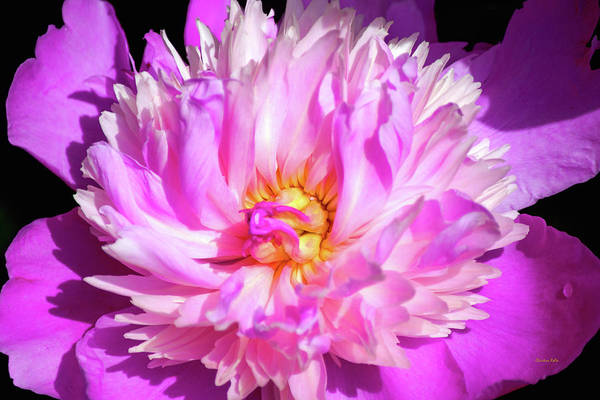 Photograph - Peony Flower by Christina Rollo
