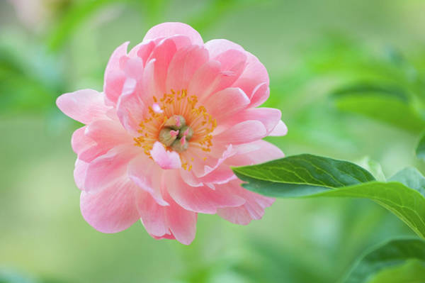 Photograph - Peony Flower Coral Sunset by Jenny Rainbow