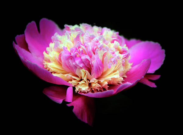 Wall Art - Photograph - Peony In Pink by Jessica Jenney