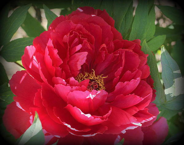 Wall Art - Photograph - Peony In Ruby Red by Dora Sofia Caputo Photographic Design and Fine Art