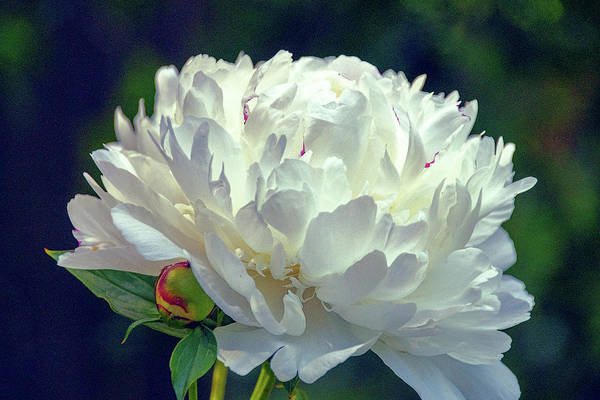 Photograph - Peony In White by Julie Palencia
