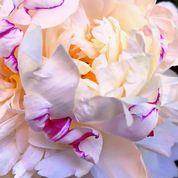 Digital Art - Peony Love 1 by Cindy Greenstein