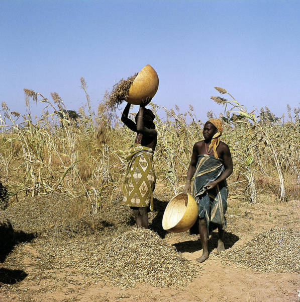 Nigeria Wall Art - Photograph - People Harvesting Groundnuts, One Of by Joe B Blossom