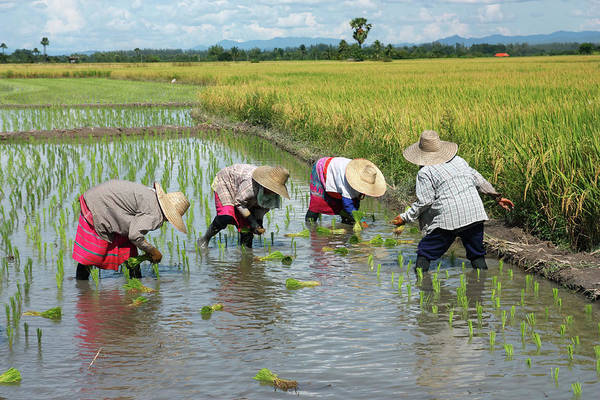 Wall Art - Photograph - People Transplanting Rice On A Nice Day by Tommyix