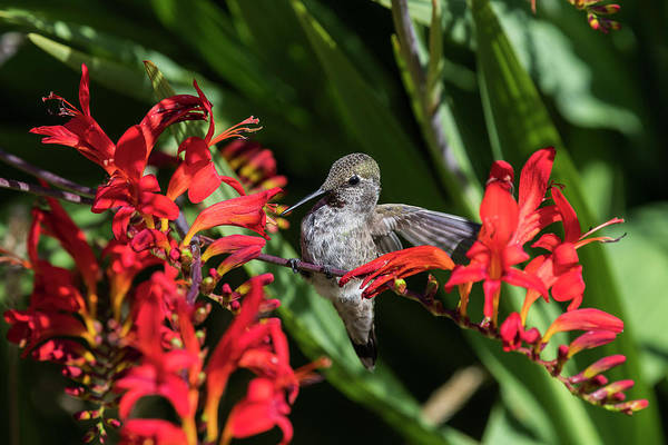 Photograph - Perched Anna's Hummingbird by Robert Potts