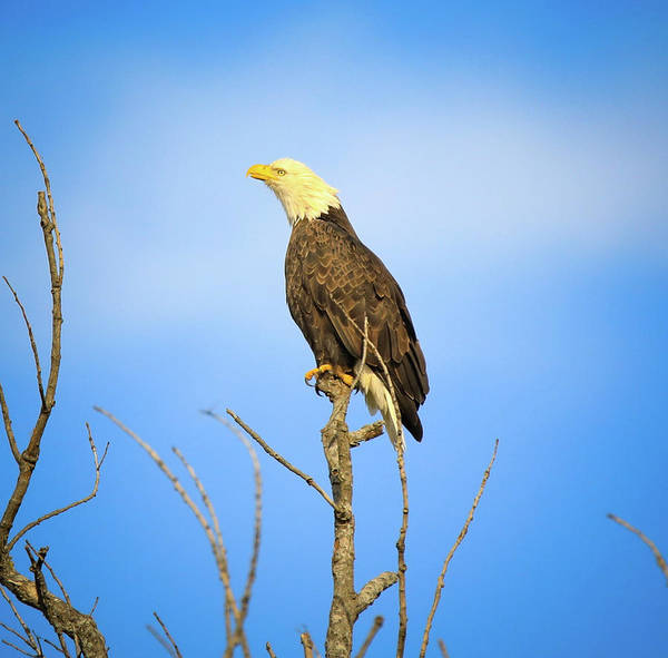 Photograph - Perched Bald Eagle by Dan Sproul