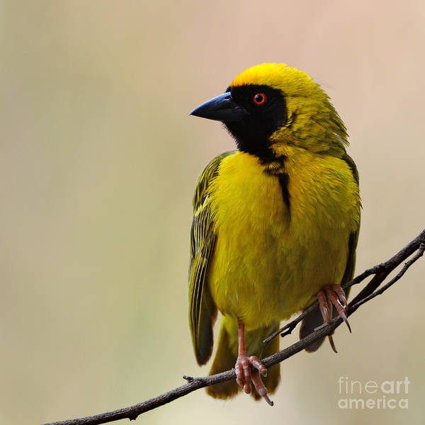 Wall Art - Photograph - Perched Breeding Male Southern Masked by Pictureswild