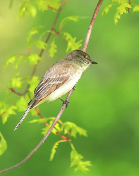 Photograph - Perched Eastern Phoebe by Dan Sproul