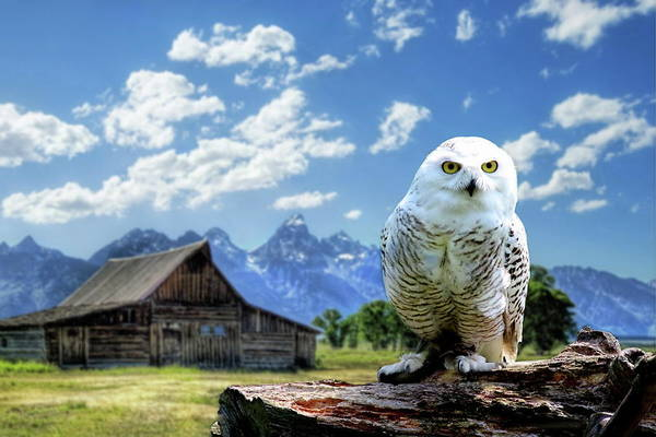Photograph - Perched Snowy Owl At Moulton Barn by Russ Harris