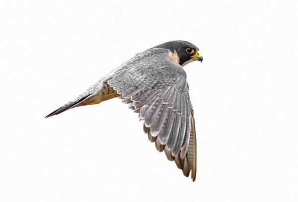 Peregrine Photograph - Peregrine Falcon Bird by Bmse