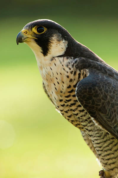 Peregrine Photograph - Peregrine Falcon Falco Peregrinus by Olaf Broders