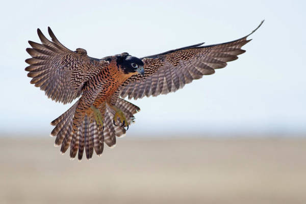 Peregrine Photograph - Peregrine Falcon by Mallardg500