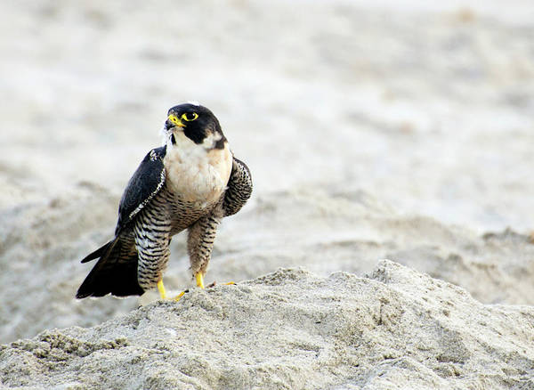 Peregrine Photograph - Peregrine Falcon On The Beach by Vicki Jauron, Babylon And Beyond Photography