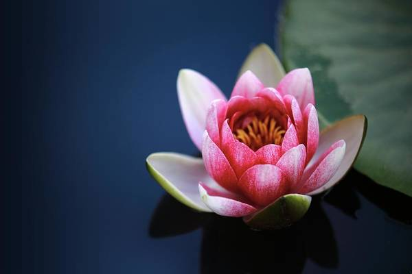 Photograph - Perfect Lotus by Top Wallpapers