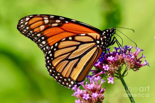 Photograph - Perfect Monarch by Susan Rydberg