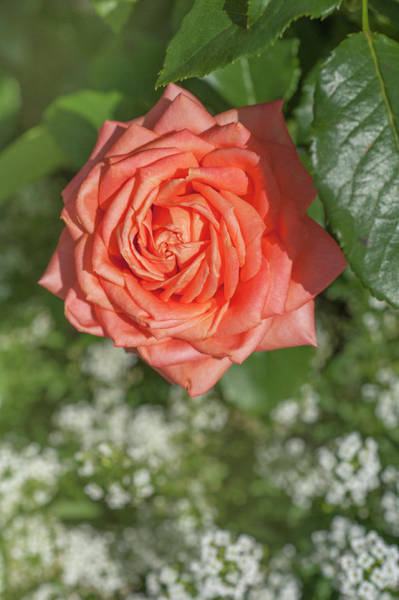Photograph - Perfect Pet Floribunda Rose 1 by Jenny Rainbow