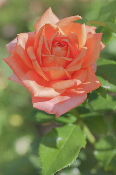 Photograph - Perfect Pet Floribunda Rose 3 by Jenny Rainbow