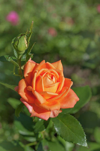 Photograph - Perfect Pet Floribunda Rose 4 by Jenny Rainbow