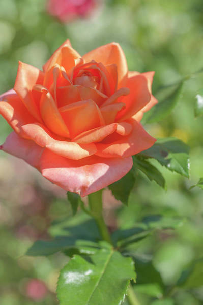 Photograph - Perfect Pet Floribunda Rose 5 by Jenny Rainbow