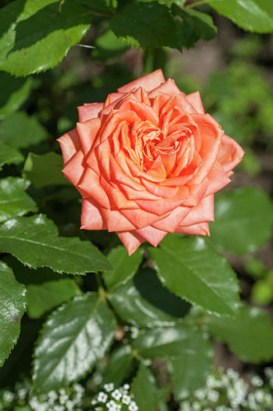 Photograph - Perfect Pet Floribunda Rose by Jenny Rainbow