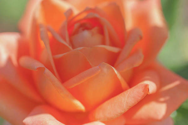 Photograph - Perfect Pet Floribunda Rose Macro by Jenny Rainbow